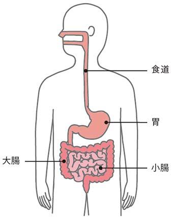 消化 器官 イラスト